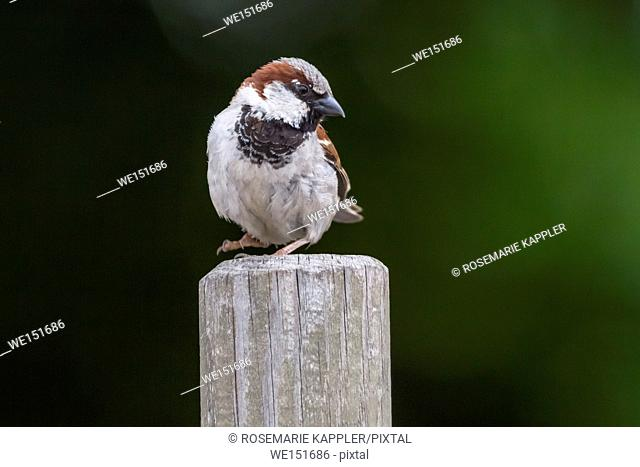 germany, saarland, bexbach, A house sparrow is sitting on a branch
