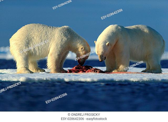 Couple of polar bears