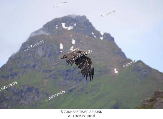 Flying sea-eagle, Svolvaer, Lofoten Islands