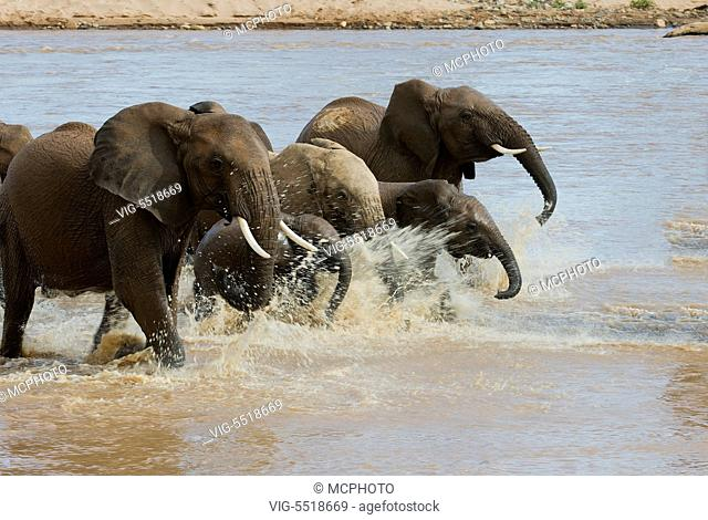 African elephants crossing the river Ewaso Ng'iro in Samburu National Reserve, Kenya. - 03/08/2007