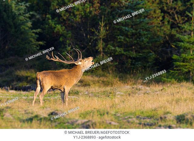 Belling Red Deer (Cervus elaphus) in Rutting Season, Schleswig-Holstein, Germany, Europe