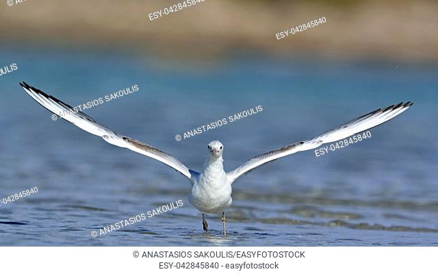 Slender-billed Gull (Chroicocephalus genei), Crete