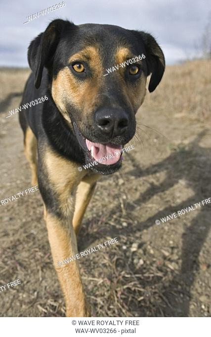 Tan and black mixed breed dog walking on path, Canada, Alberta