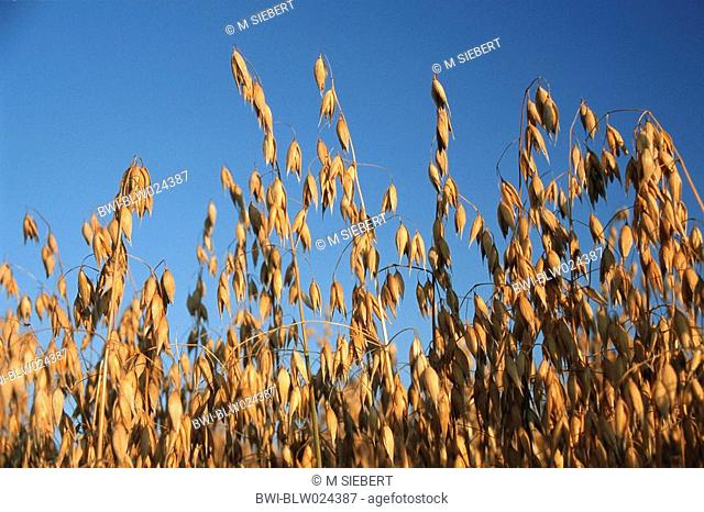 cultivated oat, common oat Avena sativa, fruiting
