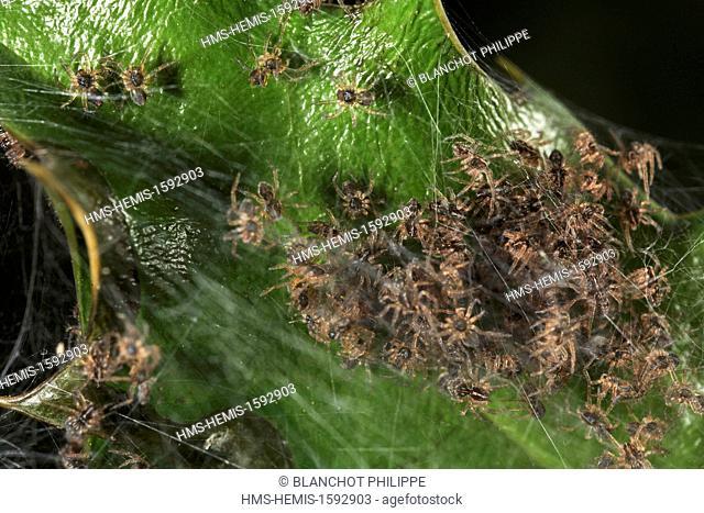 France, Araneae, Pisauridae, Nursery web spider (Pisaura mirabilis), young spiders in the nursery web
