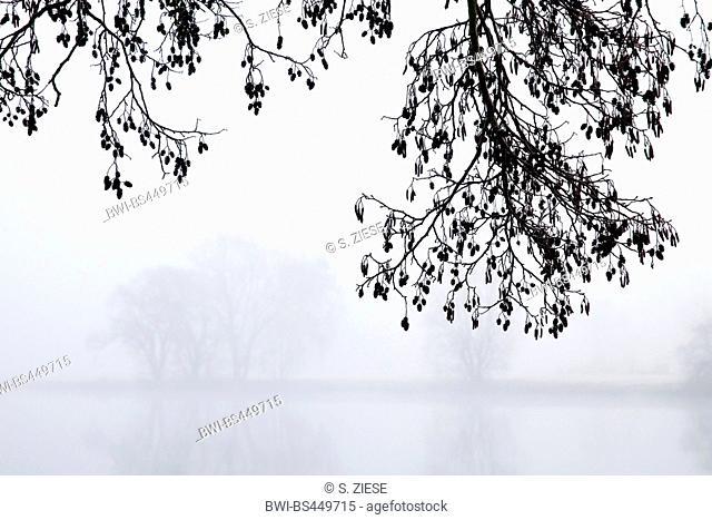 common alder, black alder, European alder (Alnus glutinosa), branch in winter with mist, Germany, North Rhine-Westphalia, Ruhr Area, Witten
