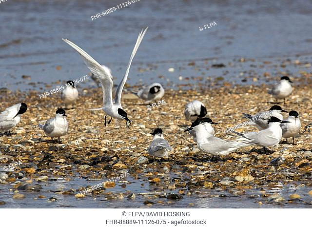 Sandwich Tern flying with sand eel over other birds on shingle spit at Scolt Head Island, Brancaster Harbour, North Norfolk