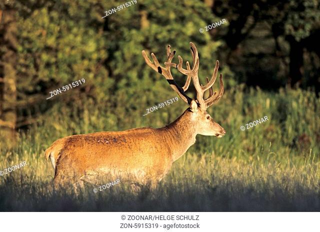 Edelhirsch mit Bastgeweih im Abendlicht / Red Deer stag with velvet-covered antler in evening light / Cervus elaphus