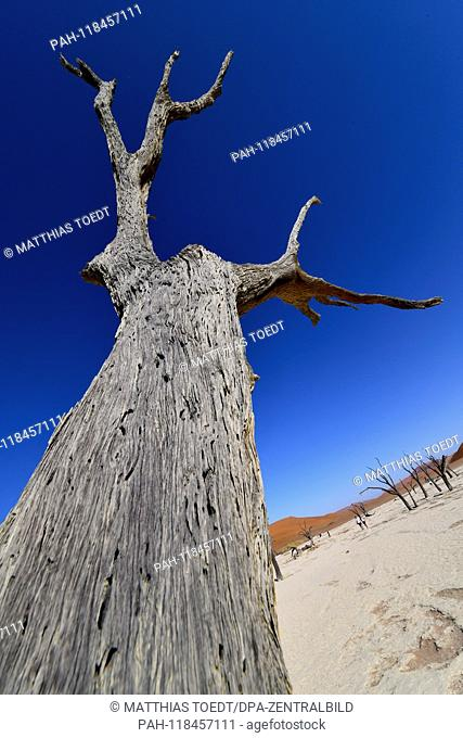 Trunk of a dead acacia in Dead Vlei, taken on 01.03.2019. The Dead Vlei is a dry, surrounded by tall dune clay pan with numerous dead acacia trees in the Namib...