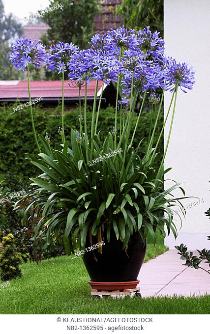 African blue lily Agapanthus africanus-Hybride in container on paved patio - Bavaria/Germany
