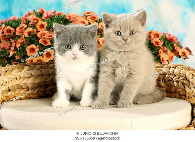 British Shorthair cat - two kittens - sitting
