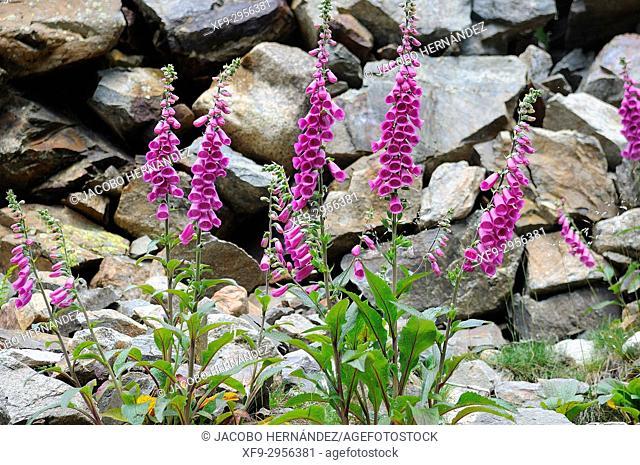 Digitalis purpurea. Ordesa National Park. Pyrenees mountains. Huesca province. Aragón. Spain