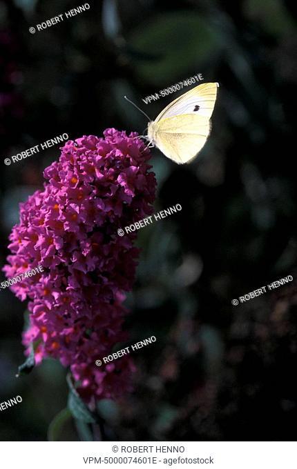 BUDDLEJA DAVIDIIBUTTERFLY BUSHWITHPIERIS BRASSICAELARGE WHITE - CABBAGE WHITE