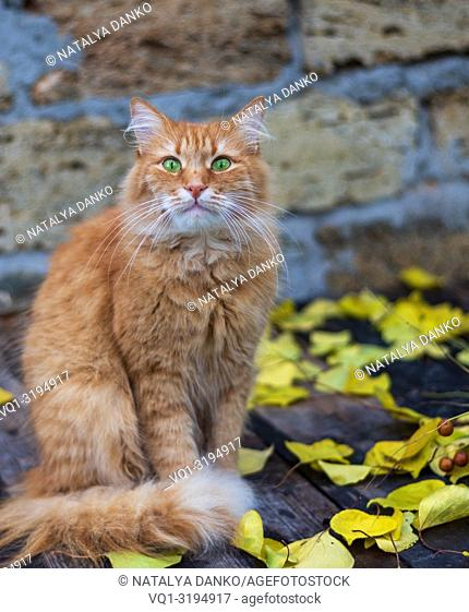 big red cat sitting in the middle of autumn foliage and looking at the camera