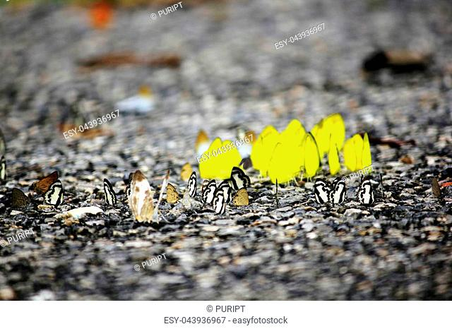 A lot of butterflies live on wet ground