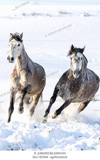 Pure Spanish Horse, Andalusian. Two gray mares galloping on snow. Germany