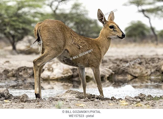 Common duiker (Sylvicapra grimmia) - Onkolo Hide, Onguma Game Reserve, Namibia, Africa