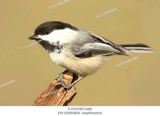 Black-capped Chickadee (poecile atricapilla) on a stump in winter