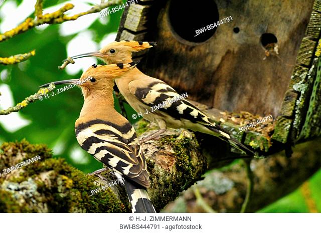 hoopoe (Upupa epops), two adult birds on a branch with feed in the bill in front of a nesting box, Germany