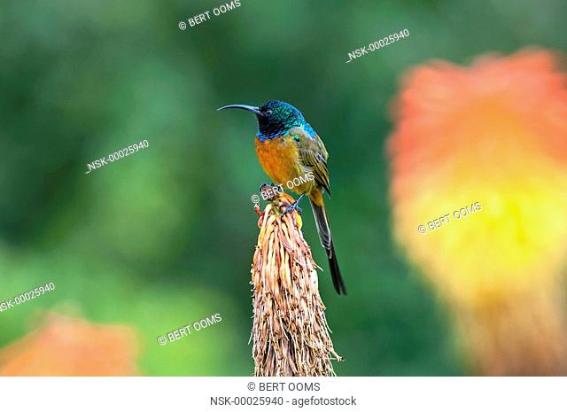 Orange-breasted Sunbird (Anthobaphes violacea) male perched on top of a spent flower of Red Hot Poker (Kniphofia) with large flower in background, South Africa