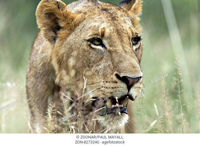 African Lioness ( Panthera leo ) portrait, Kruger National Park, South Africa