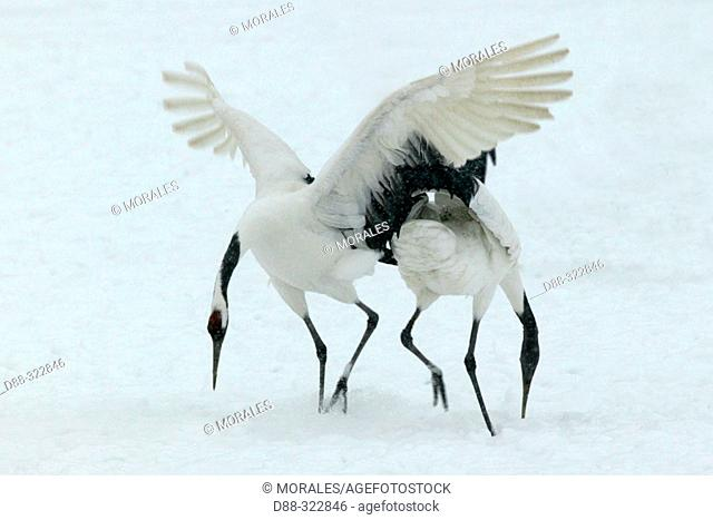 Red-Crowned Crane (Grus japonensis)