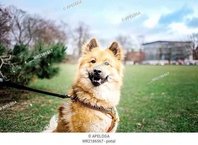 Portrait of Eurasier in park
