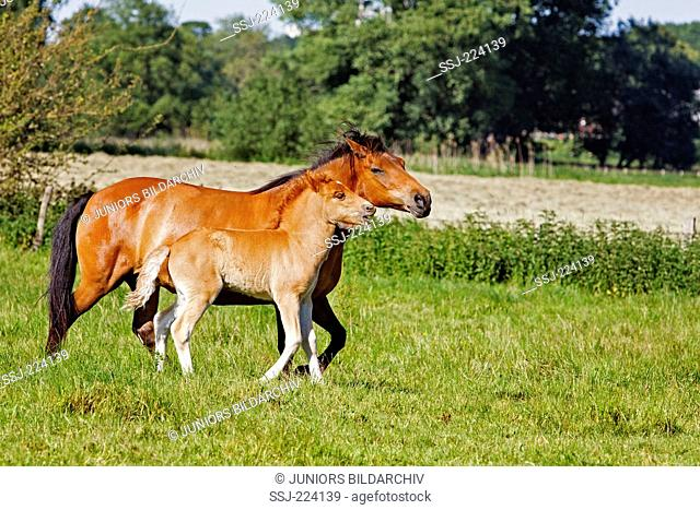 Icelandic Horse. Bay breeding mare with chestnut foal walking on a pasture. Germany