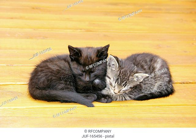 domestic cat - two kittens 51 days - sleeping