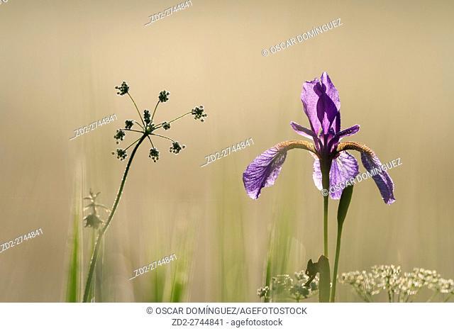 Siberian Iris (Iris sibirica). Murnauer Moos. Murnau am Staffelsee. Upper Bavaria. Germany