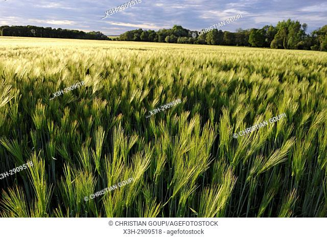 barley field, Eure-et-Loir department, Centre-Val de Loire region, France, Europe