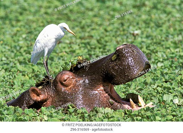 Hippopotamus (Hippopotamus amphibius) and Cattle Egret (Ardeola ibis). Serengeti National Park. Tanzania