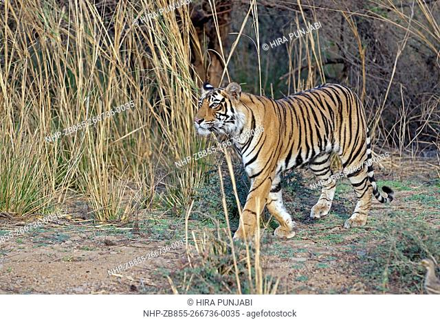 Tiger watchingRanthambore national park in India