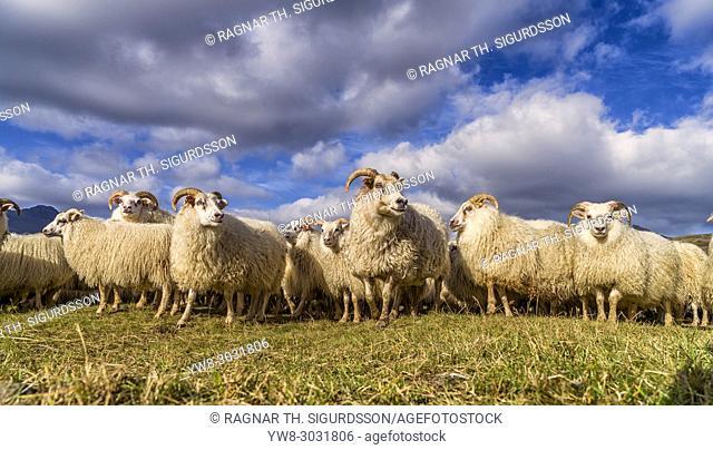 Icelandic Sheep, Autumn round-up, Iceland
