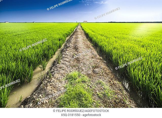 Path through rice fields, Isla Mínima, La Puebla del Río, Seville, Spain