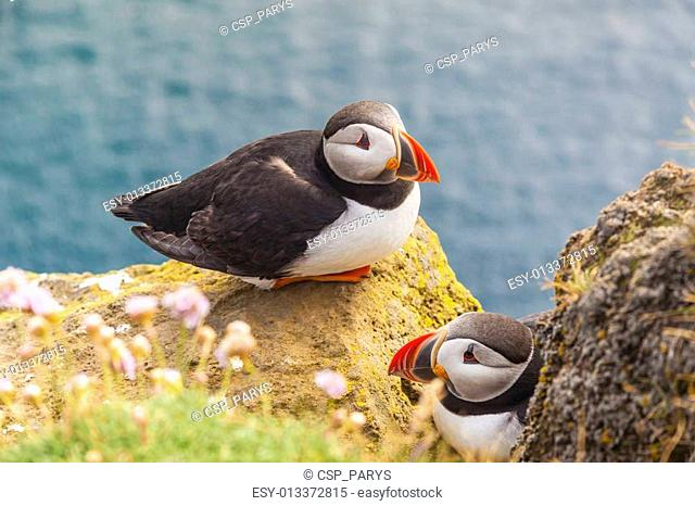 Puffins family - Latrabjarg, Iceland