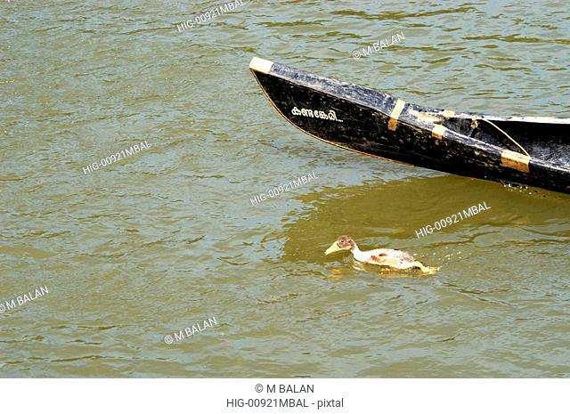 SINGLE DUCK GLIDING ALONG WITH BOAT