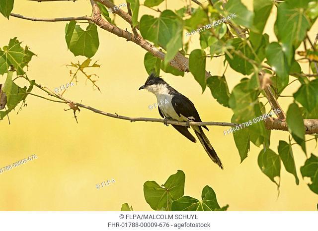 Jacobin Cuckoo (Clamator jacobinus) adult, perched on twig, Yala N.P., Sri Lanka, March