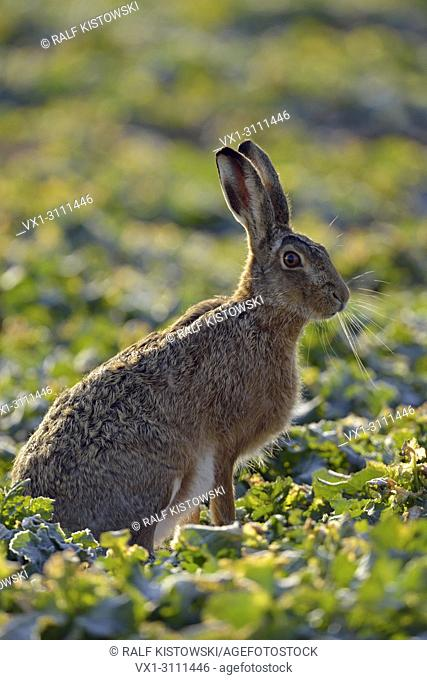 Brown Hare / European Hare / Feldhase ( Lepus europaeus ), adult, close by, sitting on a rape field in first morning light
