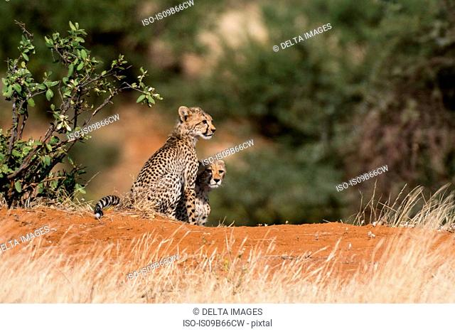 Two Cheetah cubs (Acinonyx jubatus), Samburu National Reserve, Kenya, Africa