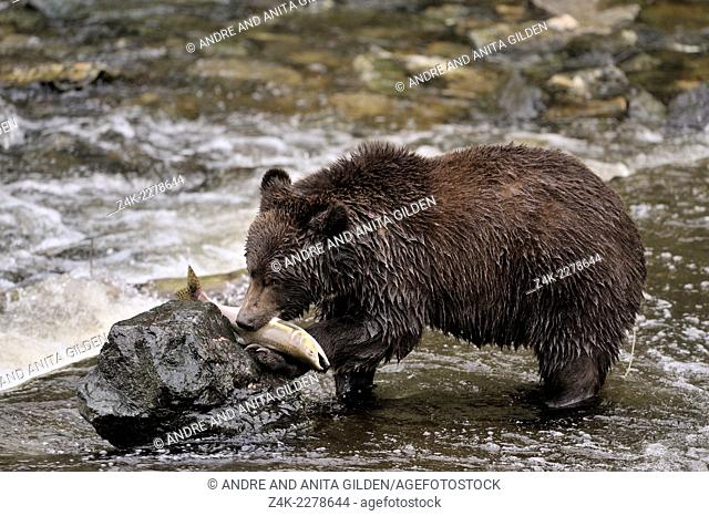 Grizzly Bear (Ursus arctos horribilis) eating Salmon on a rock in the water, Glendale river, Canada