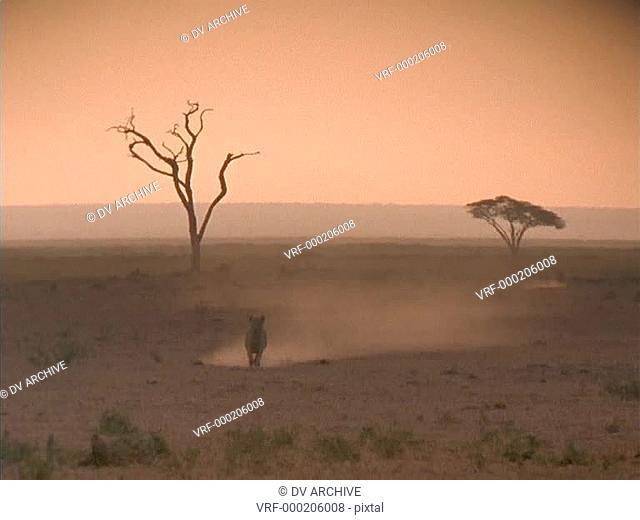 A lion runs across the African savannas