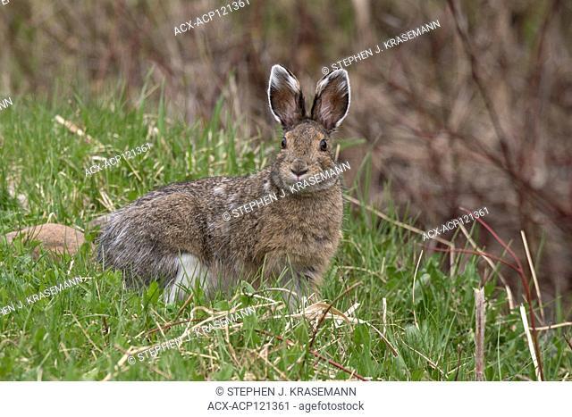 Snowshoe hare or varying hare (Lepus americanus), spring, near Lake Superior, Canada