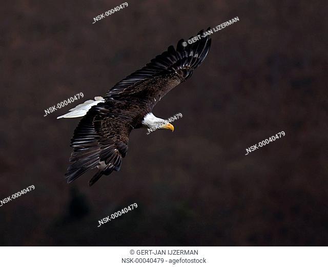 Bald Eagle (Haliaeetus leucocephalus) flying above the woods, USA