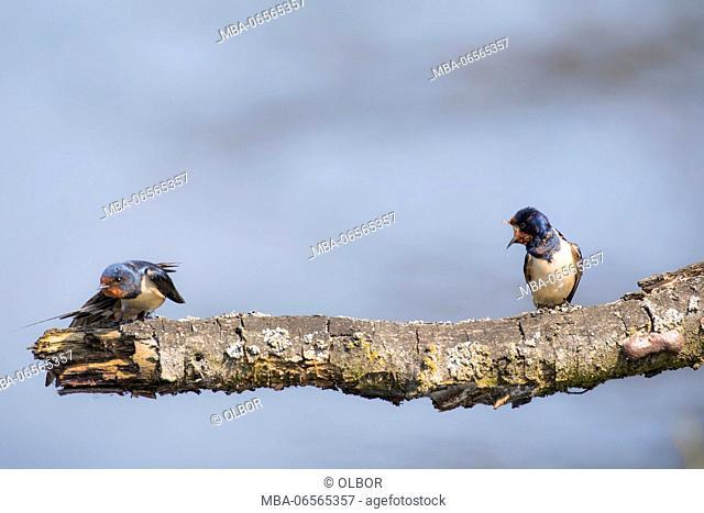 Swallow, Hirundo rustica, couple, arguing