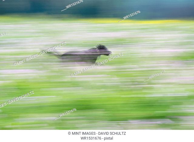 A black Labrador dog running through a wildflower meadow