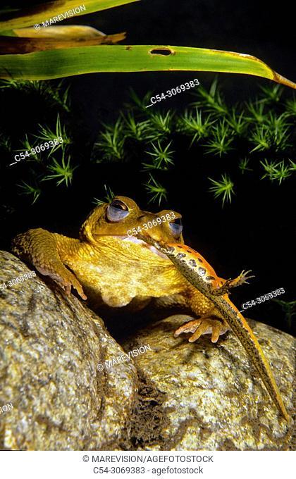 Freshwater Rivers. Common Toad (Bufo bufo) devouring Bosca's newt (Triturus boscai). Rio Oitaven. Galicia. Spain. Europe