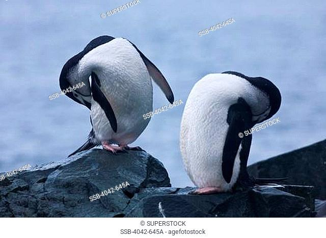 Chinstrap penguins Pygoscelis antarcticus preening themselves on the coast, Half Moon Island, South Shetland Islands, Antarctica