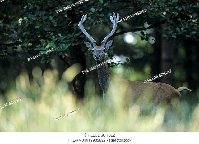 Red Deer, bull with velvet antler, Cervus elaphus