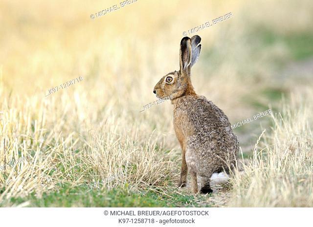 European brown hare (Lepus europaeus) in summer, Germany, Europe
